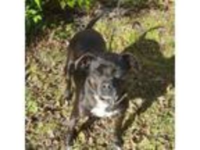 Adopt Cody a Black - with White American Staffordshire Terrier / Terrier