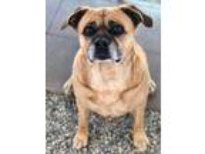 Adopt Kelly a Brown/Chocolate Labrador Retriever / Pug / Mixed dog in Acton