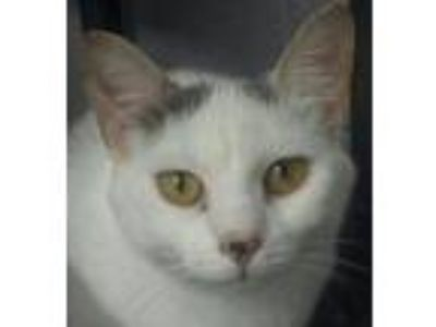 Adopt Lily a White (Mostly) Domestic Shorthair (short coat) cat in Lebanon