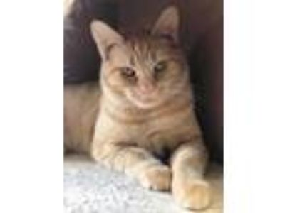 Adopt Jeter a Orange or Red Domestic Shorthair / Domestic Shorthair / Mixed cat