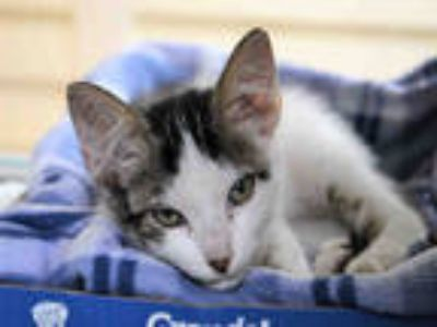 Adopt GIZMO a White (Mostly) Domestic Shorthair / Mixed (short coat) cat in Ft