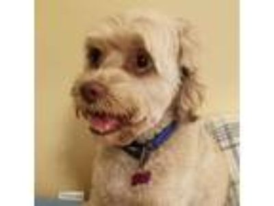 Adopt Bo a White - with Tan, Yellow or Fawn Cockapoo dog in Long Beach