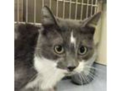 Adopt Mia a Gray or Blue (Mostly) Domestic Shorthair / Mixed (short coat) cat in