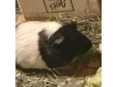Adopt Cavalli a Black Guinea Pig (short coat) small animal in Palm Desert