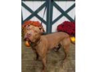 Adopt Zeke a Pit Bull Terrier