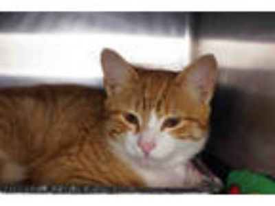 Adopt TYSON JAMES a Orange or Red (Mostly) Domestic Shorthair / Mixed (short
