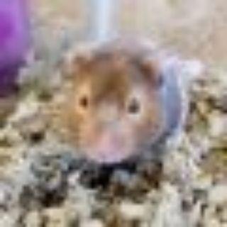 Daisy Hamster Small & Furry
