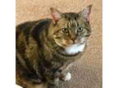 Adopt *Camran the snuggler a Tortoiseshell Domestic Mediumhair cat in Fenton