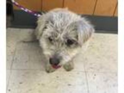Adopt Sunrise a Terrier, Mixed Breed