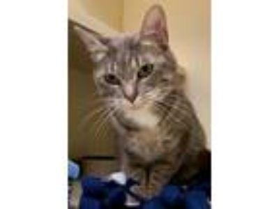 Adopt Clara a Domestic Shorthair / Mixed cat in Concord, NH (25885176)