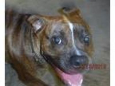 Adopt 8943 a Boxer, Pit Bull Terrier