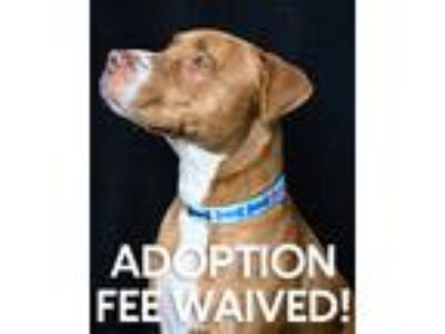 Adopt Mac a American Pit Bull Terrier / Mixed dog in Novato, CA (25348004)