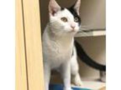 Adopt Mushi a White Domestic Mediumhair / Domestic Shorthair / Mixed cat in