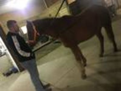 Registered AQHA Gelding Price Reduced