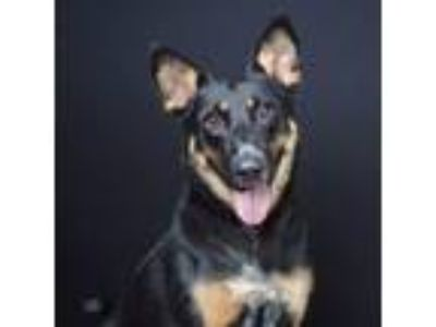 Adopt Chloe a Cattle Dog