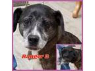 Adopt Ranger 2 a Black - with White Plott Hound / Mixed dog in Sautee