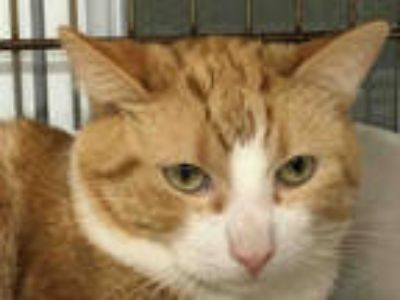 Adopt *LT. DAN a Orange or Red Tabby Domestic Shorthair / Mixed (short coat) cat