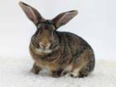 Adopt Houdini a Chocolate American / American / Mixed rabbit in Dayton
