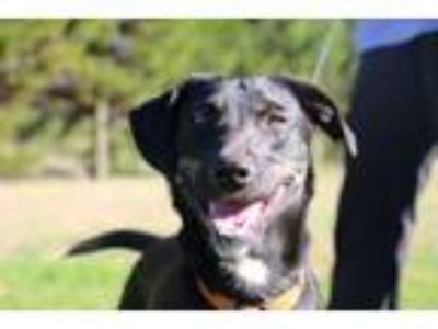 Adopt Sammy $125 a Labrador Retriever