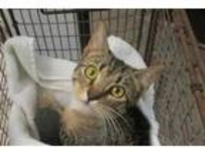Adopt BRITTANY a Brown Tabby Domestic Shorthair / Mixed (short coat) cat in