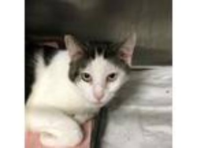 Adopt Gypsy a White Domestic Shorthair / Domestic Shorthair / Mixed cat in