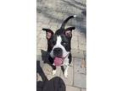 Adopt Bandit a Boston Terrier