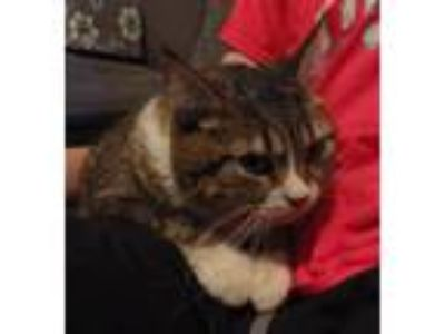 Adopt Jason a Brown Tabby Domestic Shorthair (short coat) cat in Speedway
