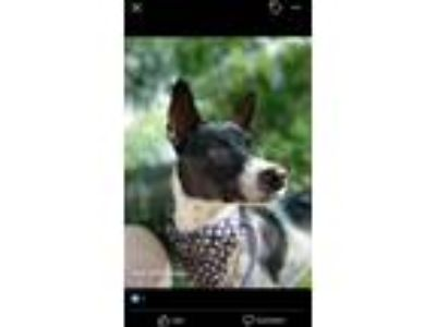 Adopt Norky a Cattle Dog