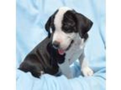 Adopt Kody a Black - with White Labrador Retriever / Mixed Breed (Medium) /