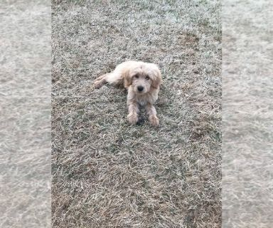 Goldendoodle PUPPY FOR SALE ADN-131111 - Goldendoodle Puppy for Sale