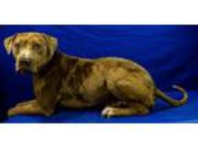 Adopt Hunter a Brown/Chocolate - with Black Catahoula Leopard Dog / Mixed dog in