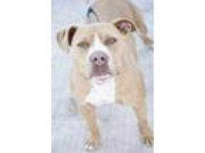 Adopt Deja a Tan/Yellow/Fawn American Pit Bull Terrier / Mixed dog in Sanger