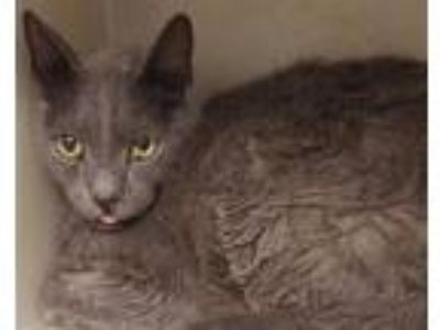 Adopt PETER a Gray or Blue Domestic Shorthair / Mixed (short coat) cat in