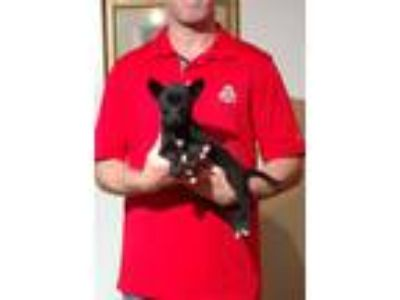 Adopt Charlie a Black - with White Pomeranian / Toy Fox Terrier / Mixed dog in