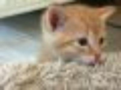Rosco Domestic Short Hair Cat