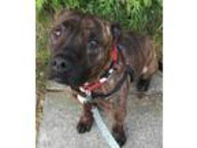 Adopt Cheech a Brindle Black Mouth Cur / Pit Bull Terrier / Mixed dog in