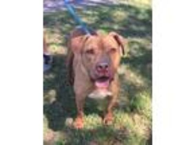 Adopt Bo a Red/Golden/Orange/Chestnut Mixed Breed (Medium) / Mixed dog in Land