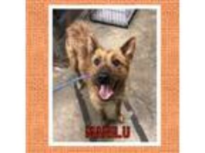 Adopt Marilu a Wirehaired Terrier