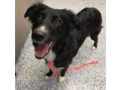Adopt Nala a Australian Shepherd, Border Collie
