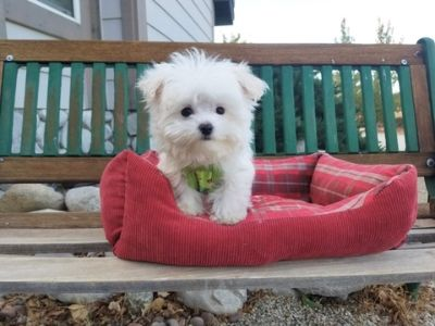 Maltese PUPPY FOR SALE ADN-104730 - Tiny Teacup Maltese Boy
