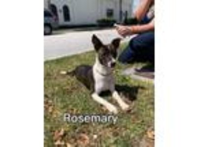Adopt Rosemary a Whippet, Italian Greyhound