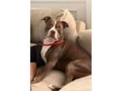 Adopt Archie a American Staffordshire Terrier, Pit Bull Terrier