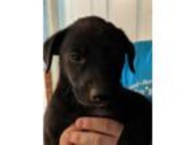 Adopt Dolly a Black Border Collie / Labrador Retriever / Mixed dog in White