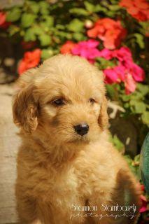 Cassie: Female Goldendoodle