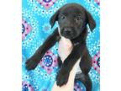 Adopt Nate a Black Labrador Retriever / Mixed Breed (Large) / Mixed dog in