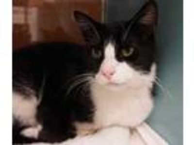 Adopt Marvin a All Black Domestic Mediumhair / Domestic Shorthair / Mixed cat in