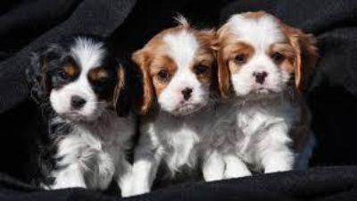 vbever Male and female Cavalier King Charles Puppies
