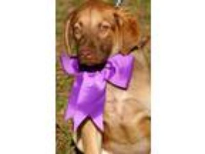 Adopt ROXIE a Brown/Chocolate - with Tan Shepherd (Unknown Type) / Labrador