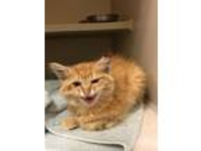 Adopt O.J a Domestic Medium Hair