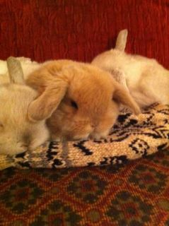 BEAUTIFUL AND SWEET  MINI LOP BABY  RABBITS